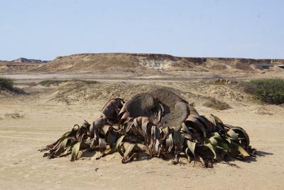 20190314181654-welwitschia-mirabilis.jpg
